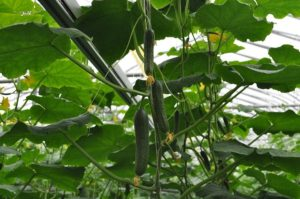 Szklarnia ogrodowa - sposób na świeże warzywa i owoce przez cały rok